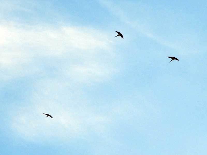 コシアカツバメの飛翔