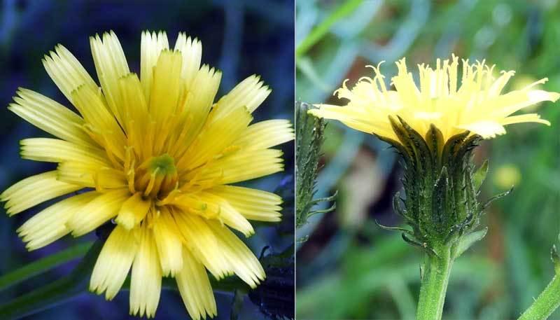 コウゾリナ花