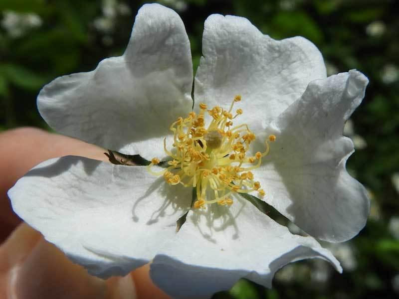 ノイバラ花