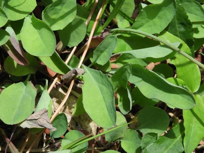 オオジシバリ根生葉