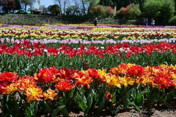 tulip21-0506-003.jpg
