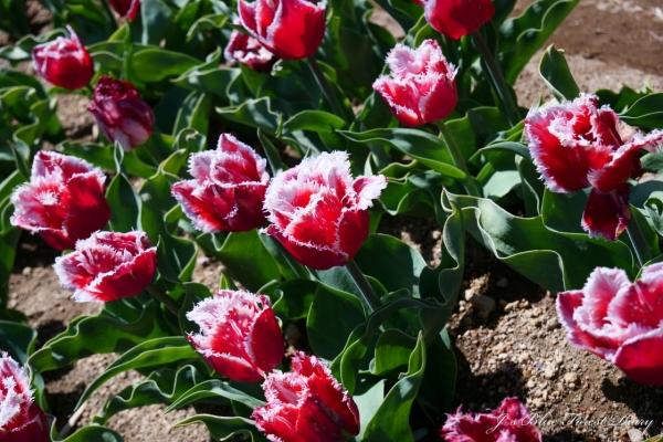 tulip21-0506-016.jpg