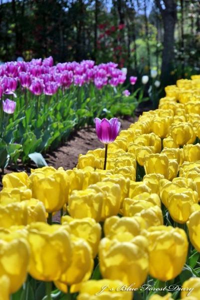 tulip21-0506-017.jpg
