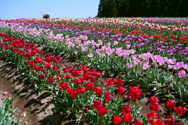tulip21-0506-018.jpg