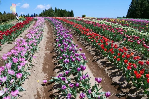 tulip21-0506-019.jpg