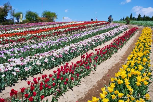 tulip21-0506-023.jpg