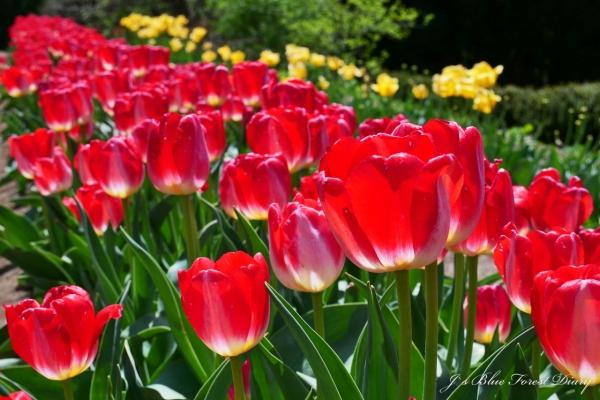 tulip21-0506-024.jpg