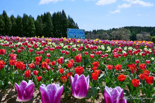 tulip21-0506-025.jpg