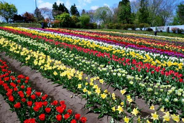 tulip21-0506-032.jpg