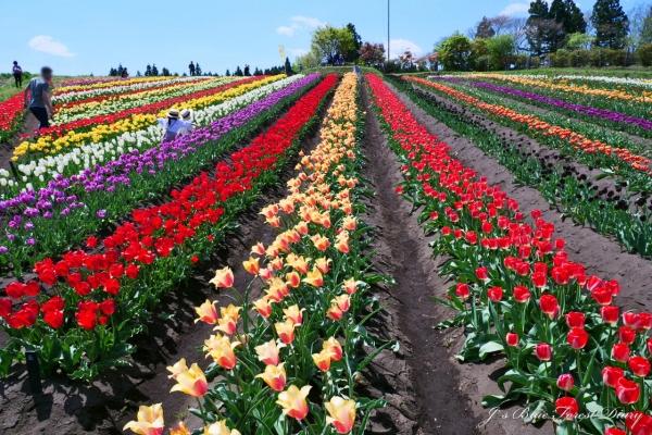 tulip21-0506-035.jpg