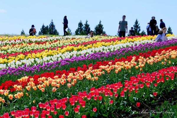 tulip21-0506-040.jpg