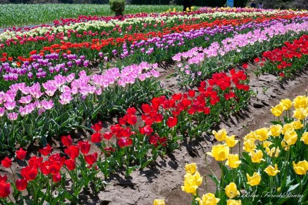 tulip21-0506-051.jpg