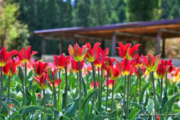 tulip21-0506-056.jpg
