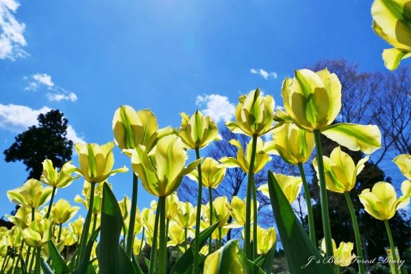 tulip21-0506-060.jpg
