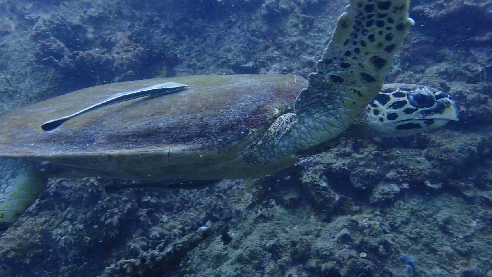 タオ島、海ブログ、カメ