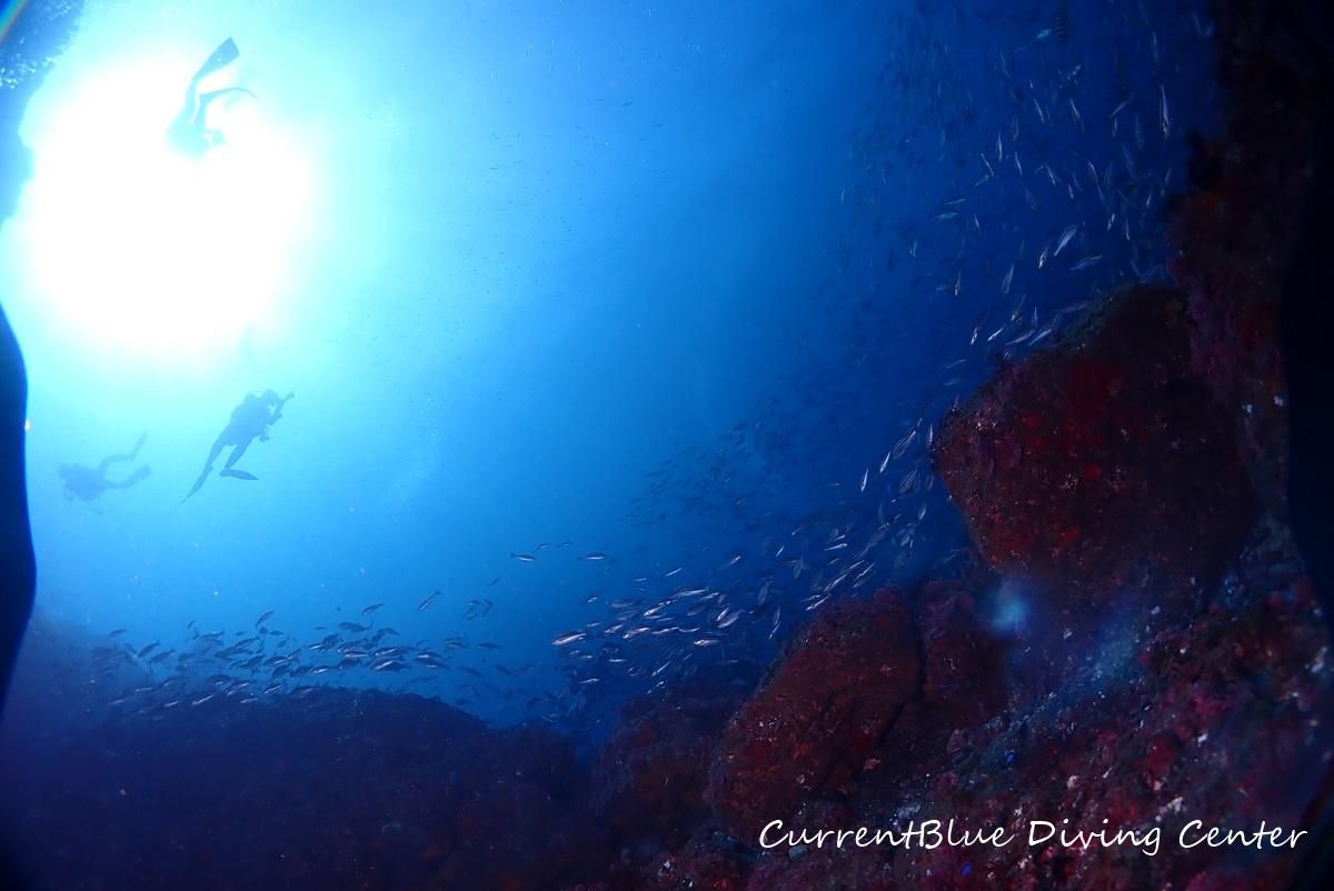 相浜ダイビング魚影,相浜ダイビング透明度,相浜ダイビングイサキ群れ (9)