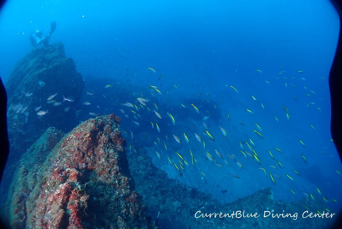相浜ダイビング魚影,相浜ダイビング透明度,相浜ダイビングイサキ群れ (1)