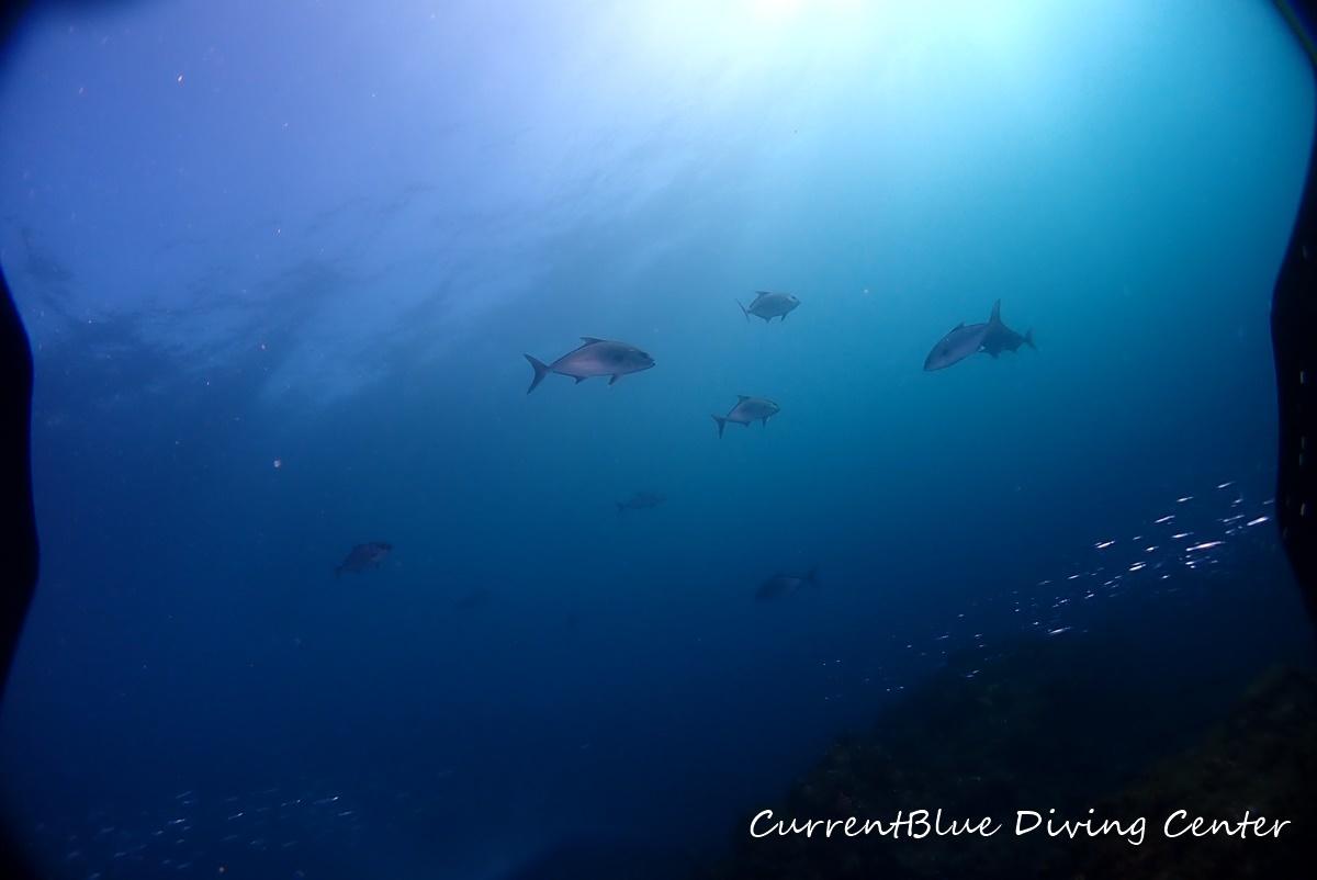 相浜ダイビング回遊魚カンパチ,相浜カンパチ (1)