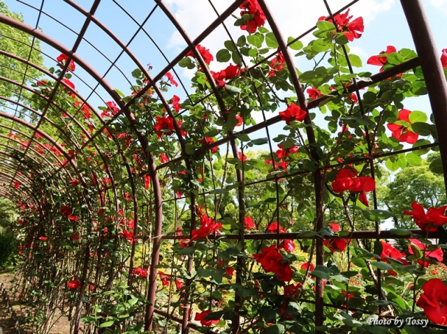 紅い薔薇のアーチ