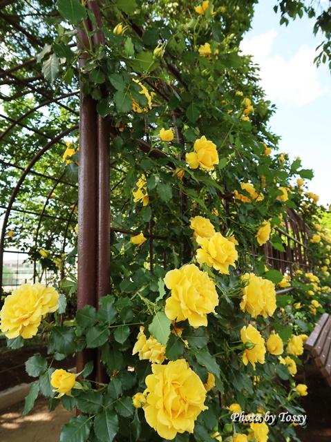 黄色いバラアーチ