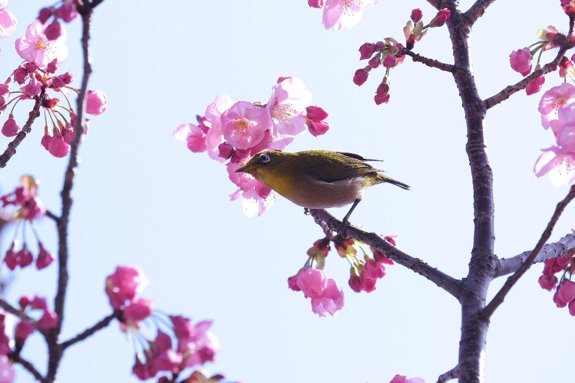 2021.03.18 和泉川 陽光桜でメジロ