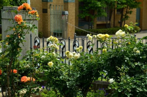 2021-5-14イングリッシュローズの庭 16