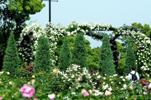 2021-5-14イングリッシュローズの庭 11