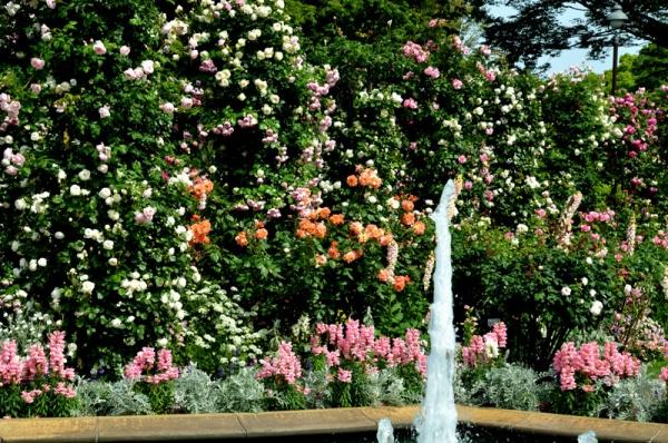 2021-5-14イングリッシュローズの庭 26