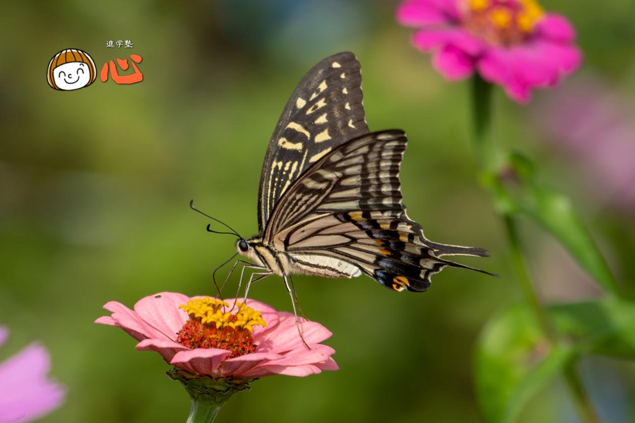0928アゲハチョウ