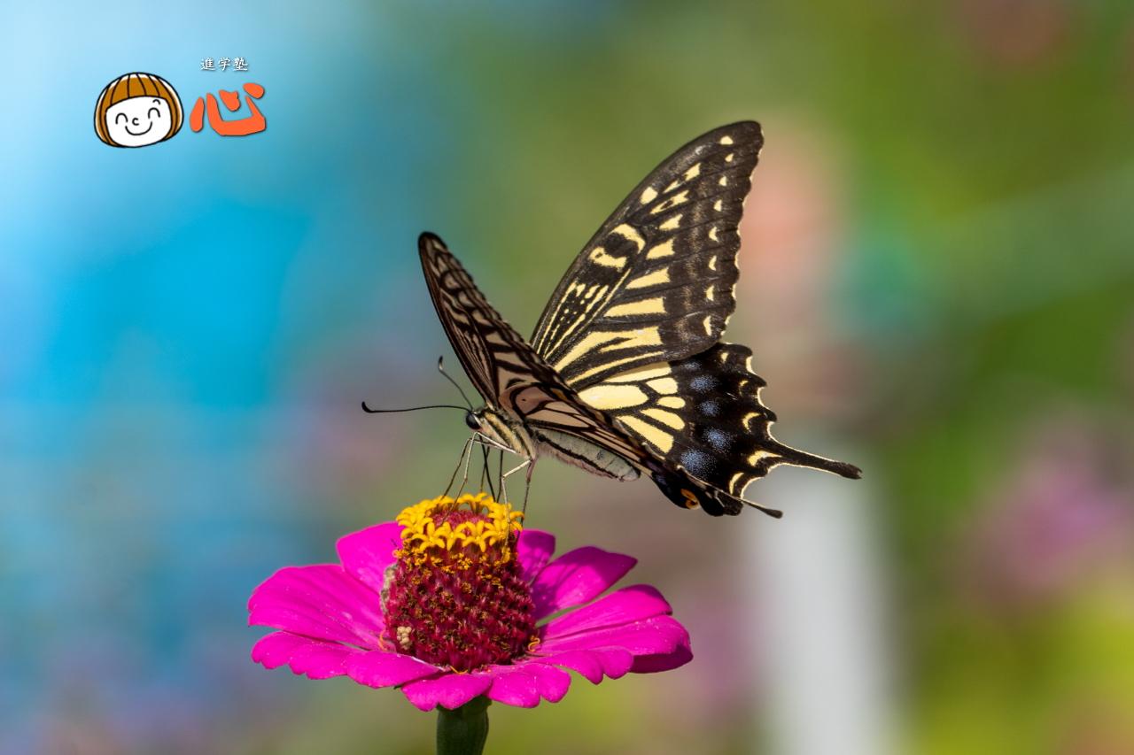 0928アゲハチョウ2