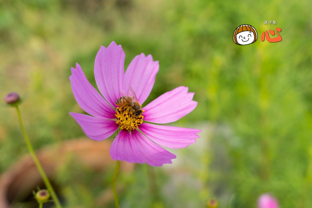 0928コスモス+ミツバチ