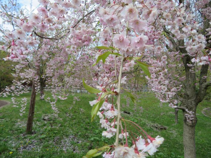 辛うじて残ってる桜