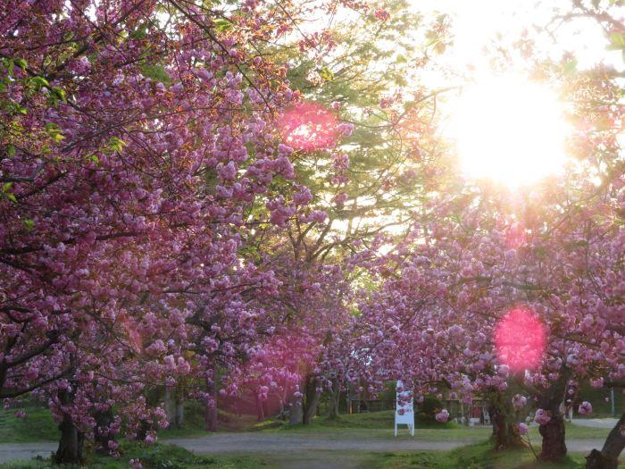 幾分か残ってる桜もある