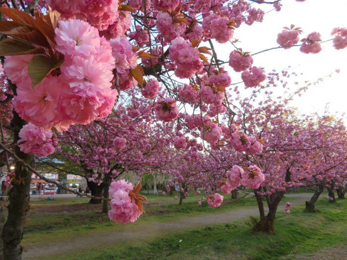 少ない桜を撮り方でカバー