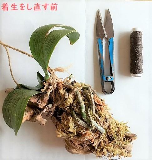 胡蝶蘭 空中栽培