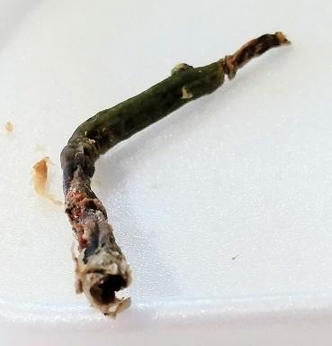 胡蝶蘭 空中栽培 育て方