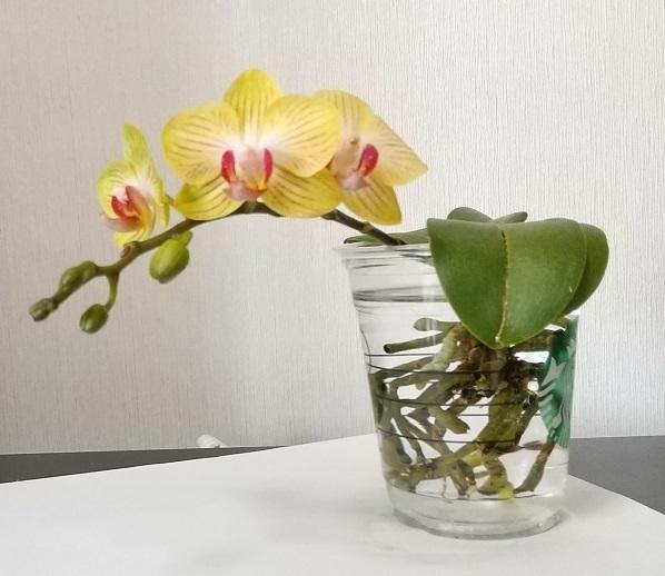 マイクロ胡蝶蘭 育て方