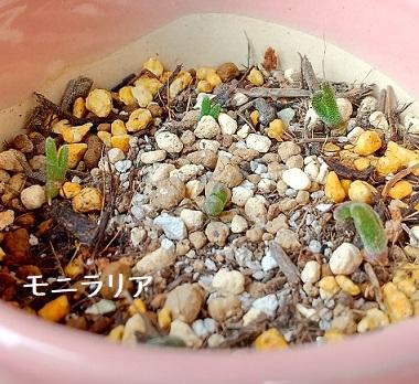 モニラリアオブコニカ 実生 うさみみ 栽培