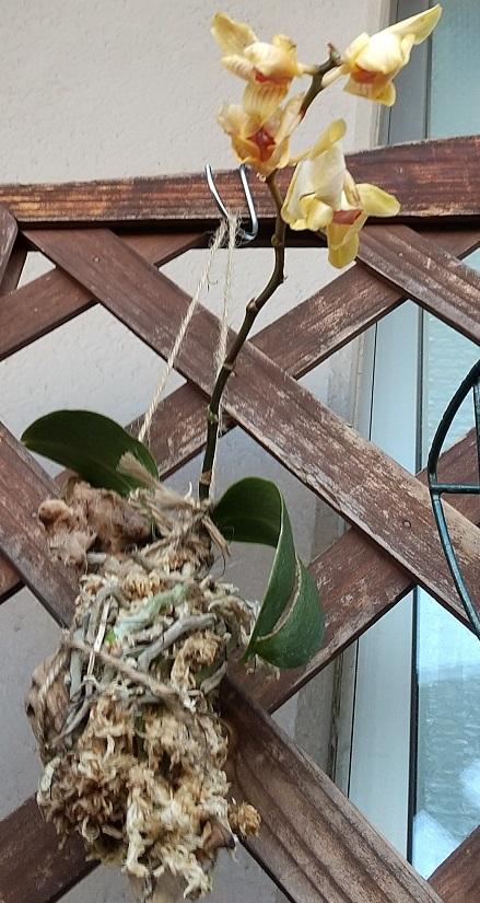 マイクロ胡蝶蘭 育て方 空中栽培