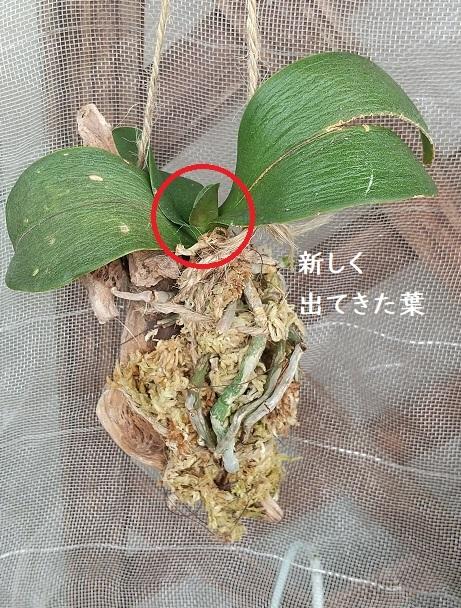 胡蝶蘭 育て方