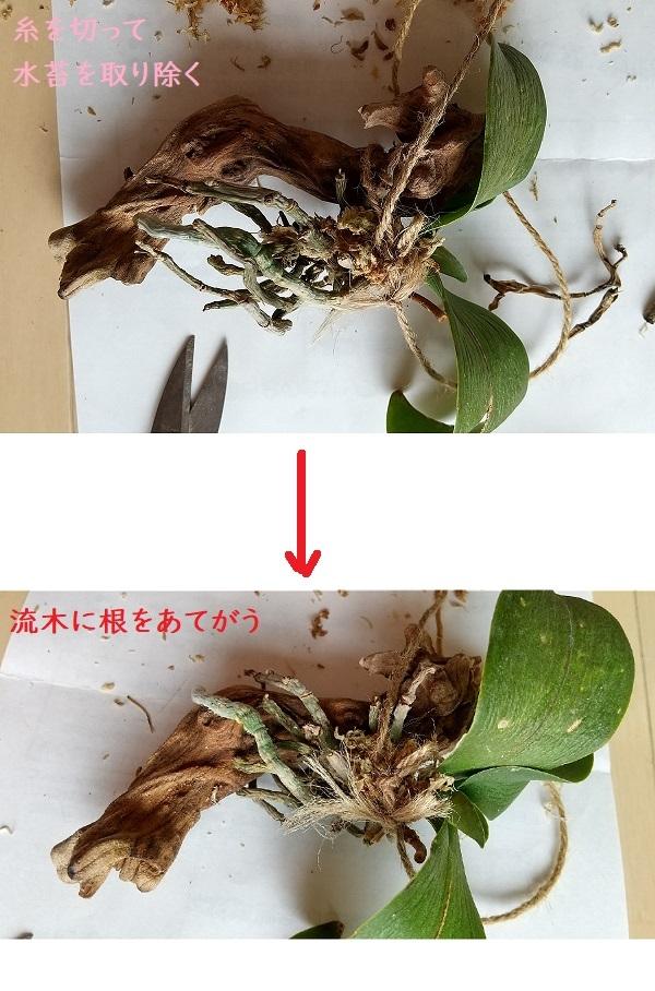 胡蝶蘭 空中栽培 流木