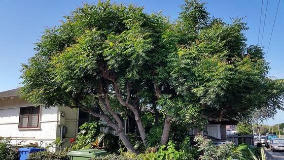 neem tree at my garden