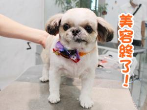 町田駅前徒歩5分のペットショップKAKOでトリミングに来店したMIXののんのちゃん
