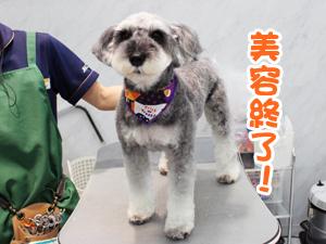 町田駅前徒歩5分のペットショップKAKOでトリミングに来店したシュナウザーのくるみちゃん