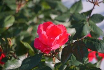 バラ満開2