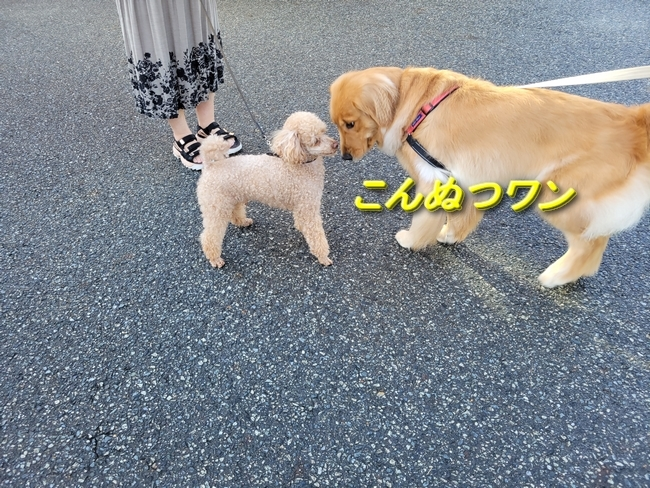 001小型犬トイプー
