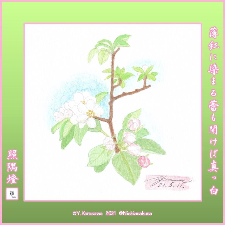210511林檎の花LRG