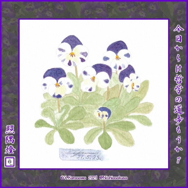 210525紫と白のビオラLRG