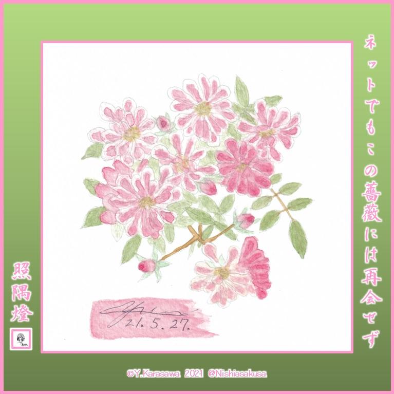 210527ピンクの小輪半管物蔓薔薇LRG
