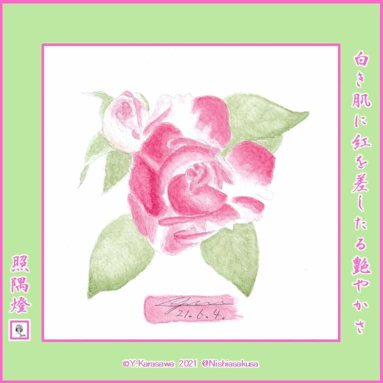 210604白地に先端がピンクのバラLRG